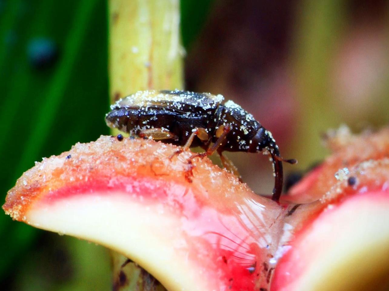 Introduksi dan Reintroduksi Kumbang Elaeidobius sp.