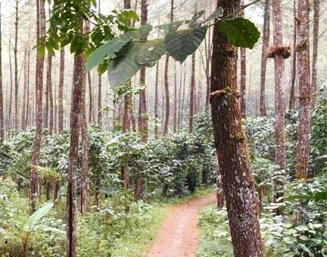 Agroforestri Kopi Robusta di daerah Gunung Gumitir, Jawa Timur
