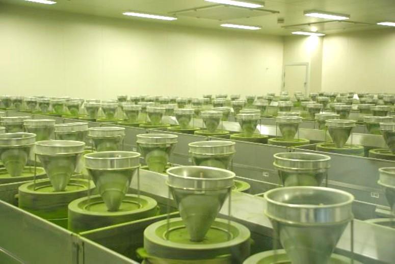 GreenTea Powder (klon GMBS 1-5)