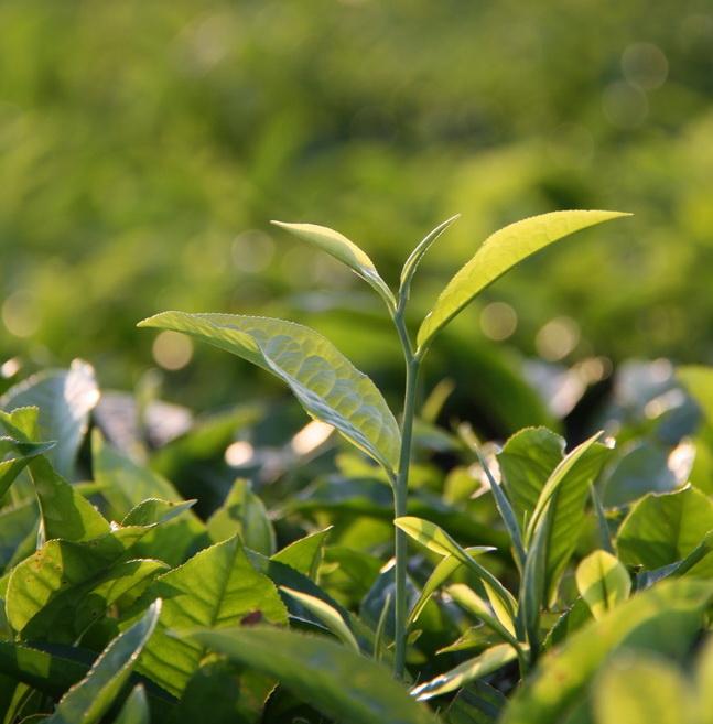 Produk Bioimunolizer untuk Peningkatan Daya Tahan, Kesuburan, dan Produktivitas Kebun Teh