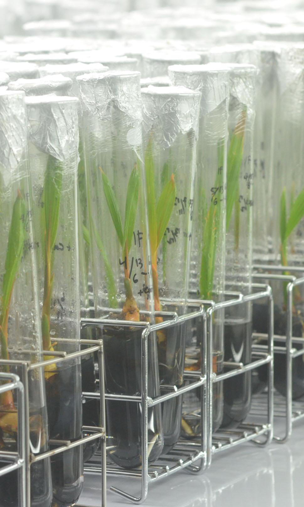 Teknologi Perakitan Ortet Kelapa Kopyor dengan Kultur Embrio